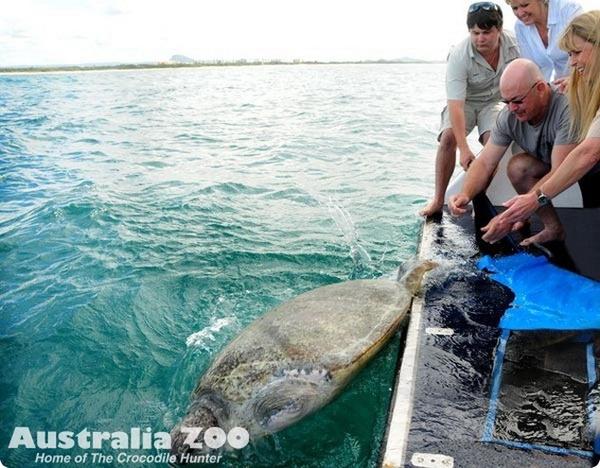 Зоопарк Australia ZOO выпустил на волю морскую черепаху
