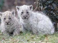 Белые ягуары из Восточной Германии