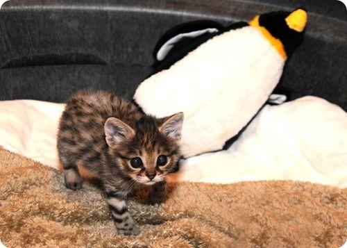 Черноногая кошка из Чикаго
