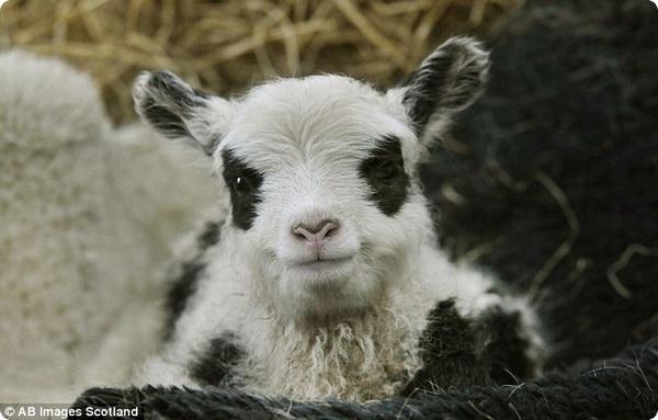 Пандо-овечки бросили вызов большим пандам Эдинбурга