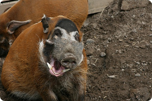 Кистеухая свинья