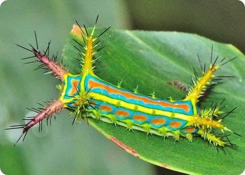 Слизневидка Calcarifera ordinata