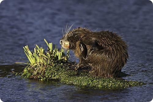 Нутрия или болотный бобр