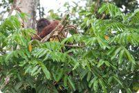 Орангутаны строят гнезда как настоящие инженеры