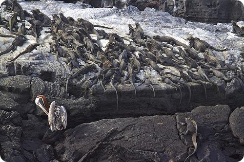 Морские игуаны