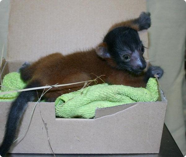 В зоопарке Jackson Zoo родились четыре малыша лемура