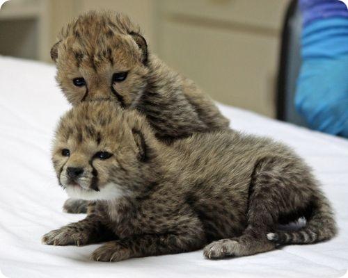 Гепарды из Орегона