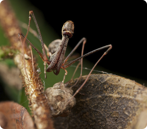 Архидовые пауки