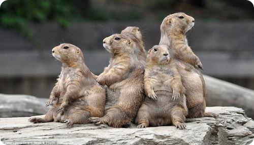 Весенняя сиеста луговых собачек