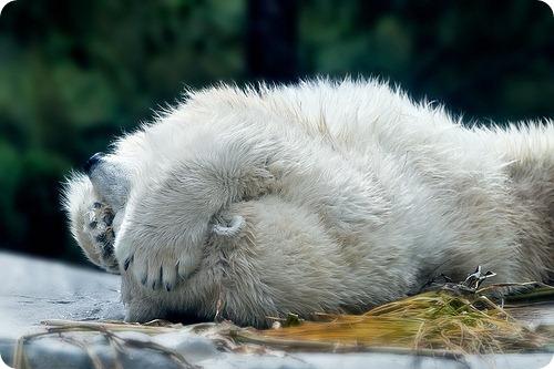 Белые медведи в пять раз старше, чем полагали ученые