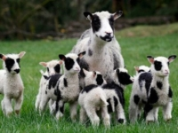 Мать-героиня овечка Трина