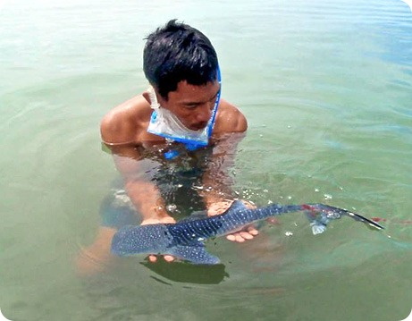 Детеныш китовой акулы