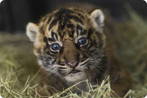 Суматранские тигры из Сан-Диего