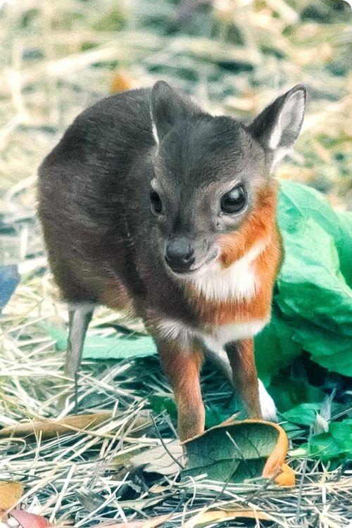 Карликовая антилопа из Флориды
