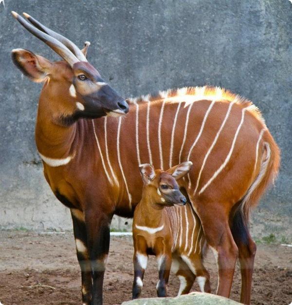 Новорожденный малыш антилопы бонго