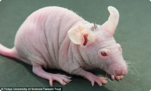Мышка, которая вполне может помочь лысым и седым людям