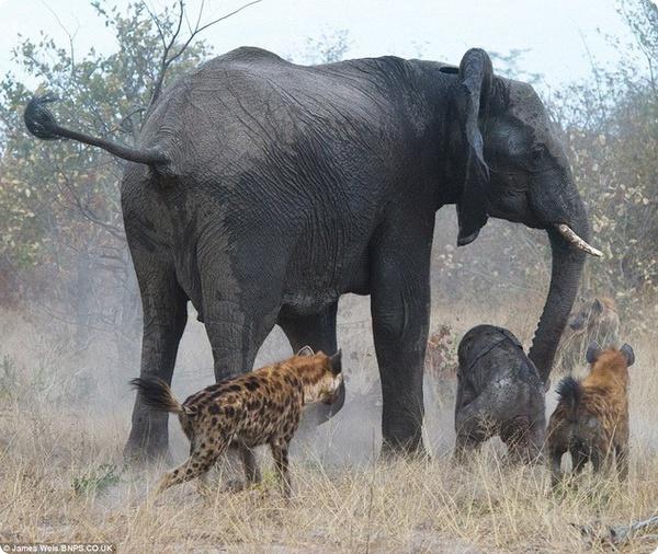 Отважная слоно-мама против злобных гиен