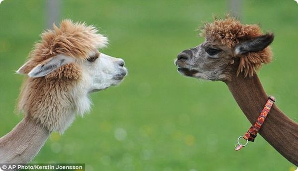 На австрийской ферме альпак подстригли в ретро-стиле!