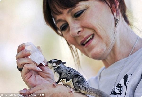Сахарные летяги – необычные белки из Австралии!