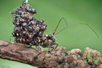 Убийца-муравьёв из Малайзии