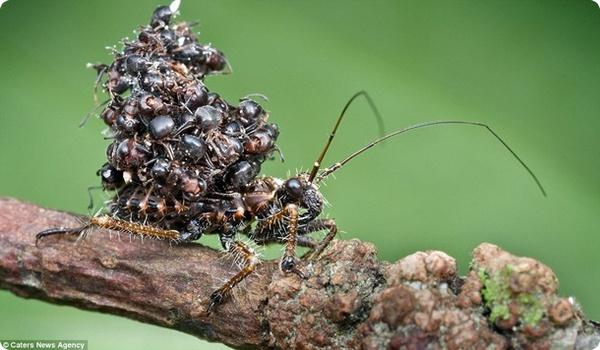 Убийца-муравьёв из Малайзии!