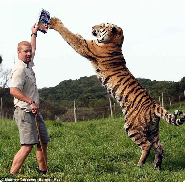 Тигр и человек – лучшие дррррузья!