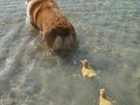 Пёс Йоги стал матерью для утят