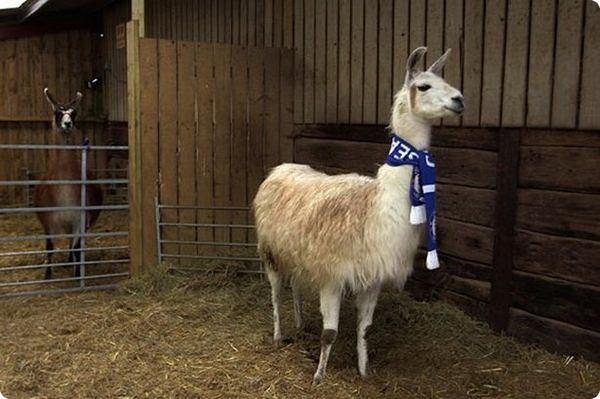 Лама предсказала победу Челси