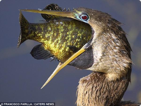 Жадная птица и её улов!