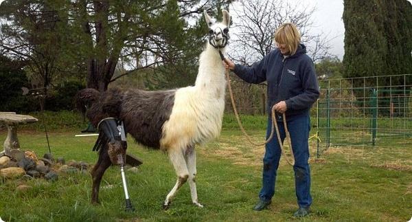 Протез для ламы