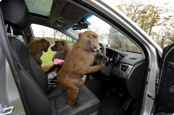 Бабуины против Huyndai