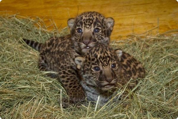 Малыши ягуара из зоопарка San Diego Zoo