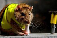 Лондонский конкурс крысиных талантов