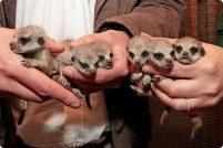 Шесть детёнышей суриката родились в зоопарке Англии