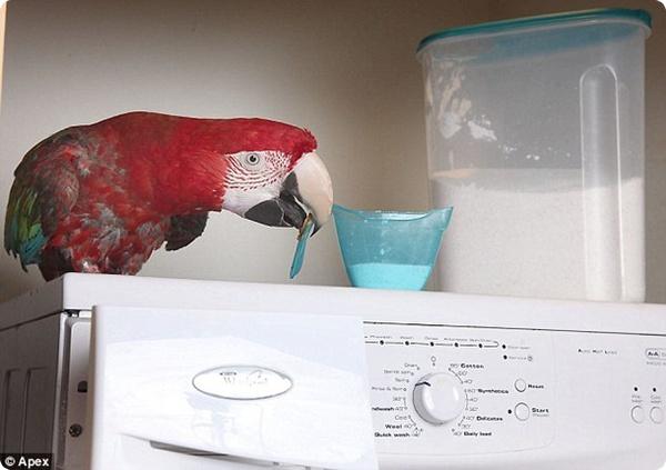 Попугаи-домохозяйки!