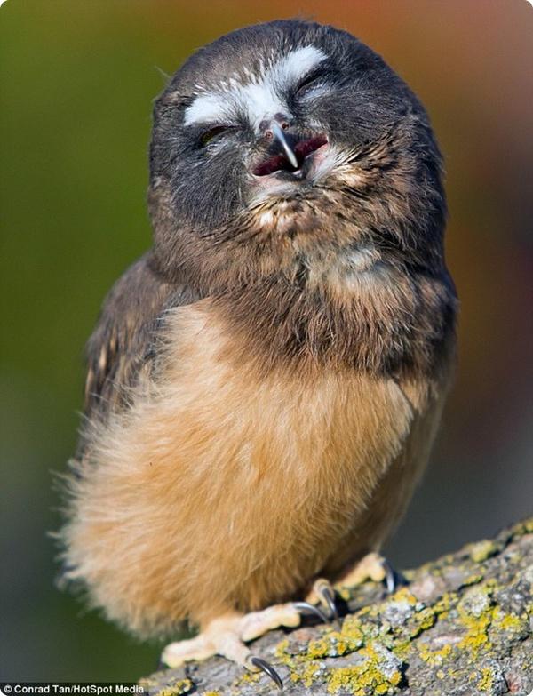Смеющийся совёнок