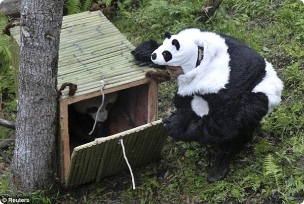Панда Тао-Тао и его новый дом!