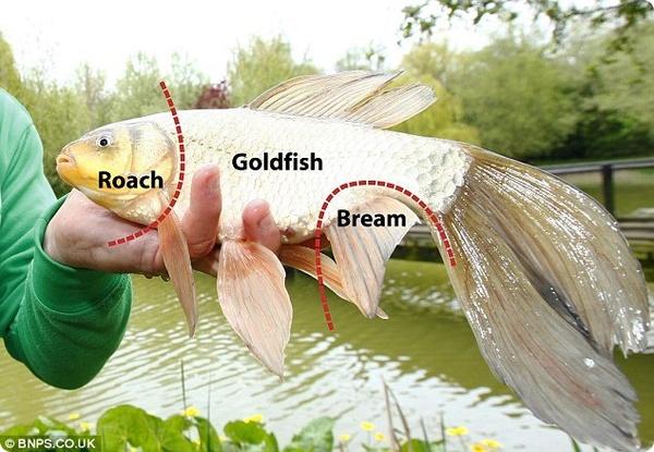 Рыба Франкенштейн