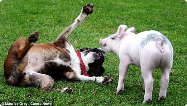 Собака и поросёнок – лучшие друзья