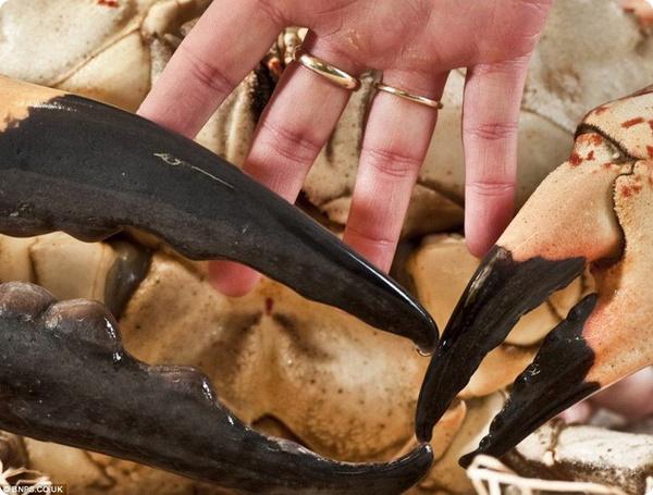 Огромный тасманийский краб (Pseudocarcinus gigas)