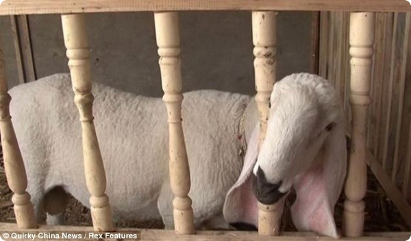 Китайский овцевод отказался продавать редкого барана