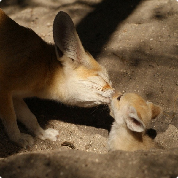 Фенеки из зоопарка Palm Beach Zoo