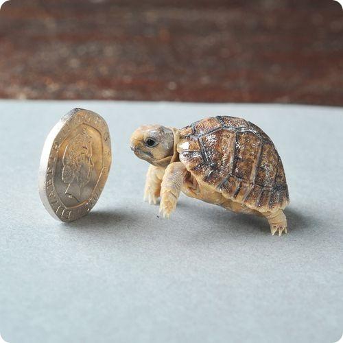 Египетские черепахи из Хэмпшира