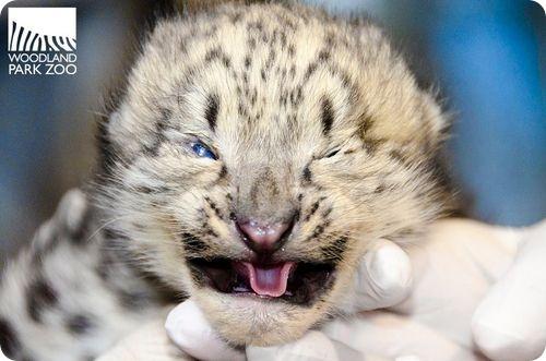 Снежные леопарды из Сиэтла