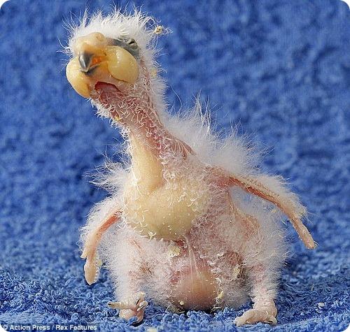 Нельсон - похоже, самый некрасивый птенец в мире