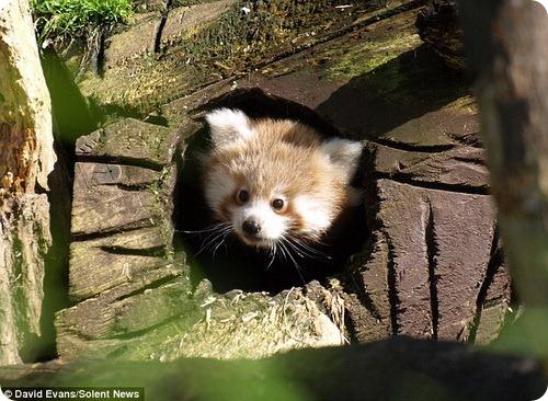Малая панда познает мир