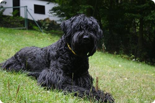 Русский Черный Терьер (Собака Сталина)