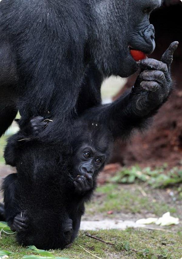 Маленькая горилла из Бристоля