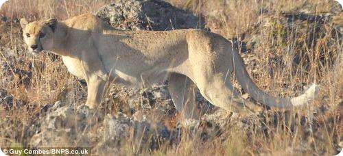 Гепард без пятен
