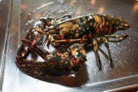 Редкий пятнистый лобстер обнаружен в Массачусетсе